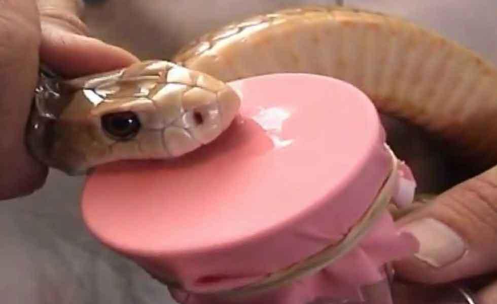 Snake Venom Milking